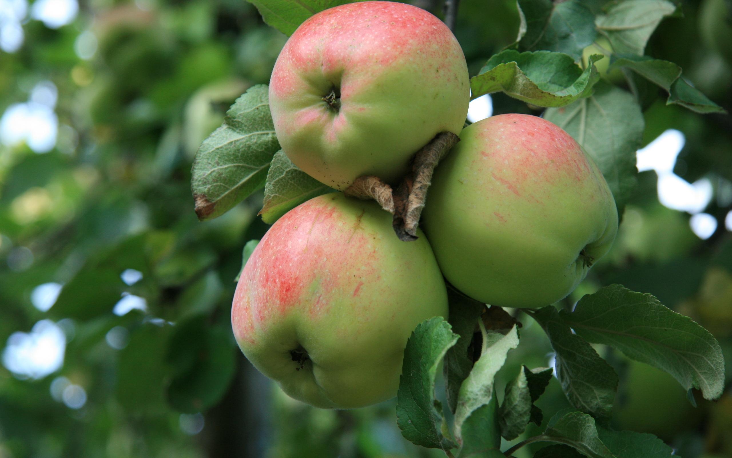 фрукты, яблоки, яблоня