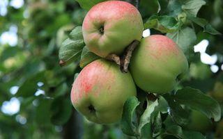 Заставки фрукты, яблоки, яблоня, ветви, листья, зеленые, еда