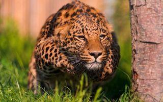 Заставки леопард, затаился, готовность