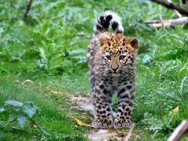 Бесплатные фото котенок, леопард, пятна, пушистый, тропинка, заповедник, лето