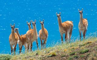 Бесплатные фото ламы,стадо,семья,уши,глаза,море,океан