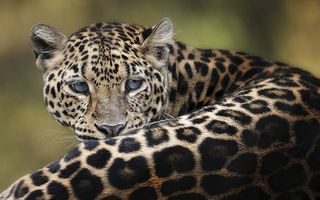 Бесплатные фото леопард,взгляд,уши,пна,спина,кошки