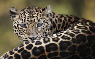 Фото бесплатно леопард, взгляд, уши, пна, спина, кошки