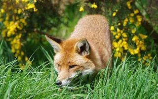Бесплатные фото лиса,рыжая,морда,уши,глаза,шерсть,животные