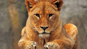 Фото бесплатно львица, уши, шерсть