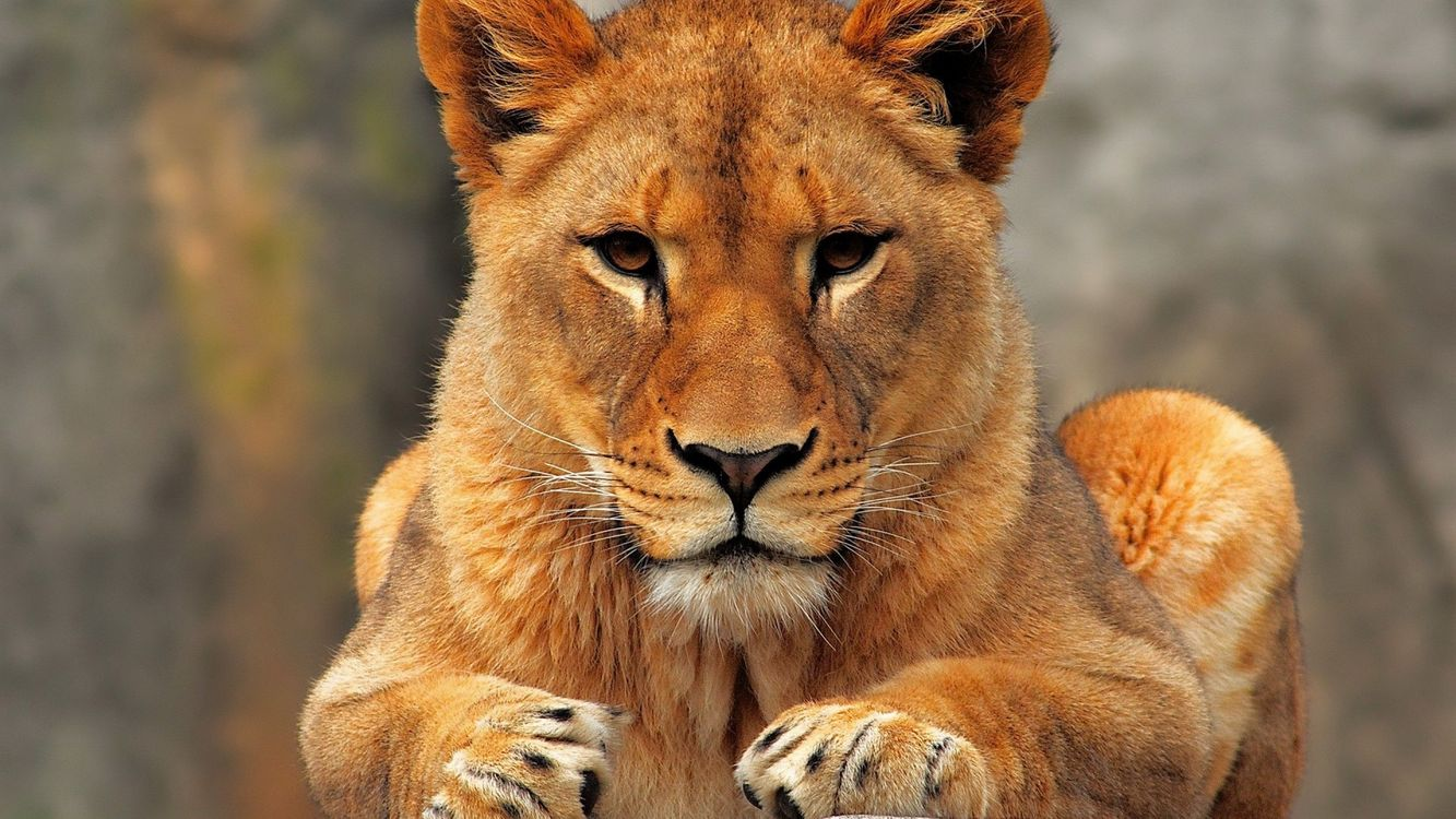 Photos for free lioness, ears, wool - to the desktop