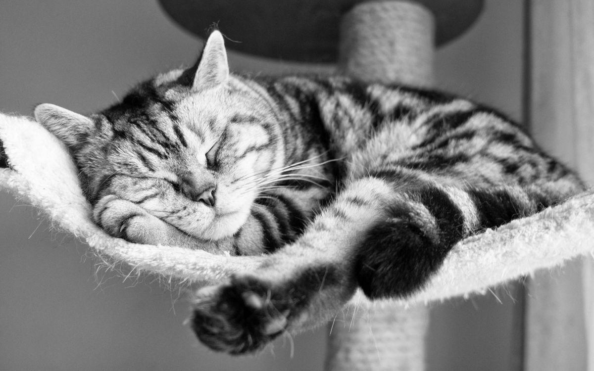 Фото бесплатно спящий кот, лапы, ушки - на рабочий стол