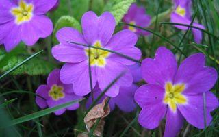 Бесплатные фото цветочки,лепестки,фиолетовые,листья,трава,зеленые