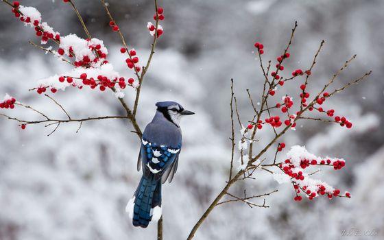 Фото бесплатно зима, снег, ягода