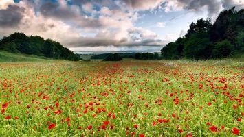 Заставки amapola,цветы,поле,сад,трава,деревья,небо