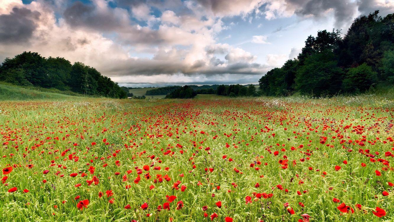 Фото бесплатно amapola, цветы, поле, сад, трава, деревья, небо, облака, природа, природа