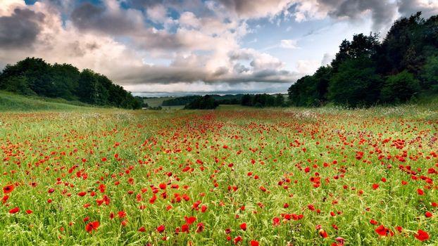 amapola, цветы, поле, сад, трава