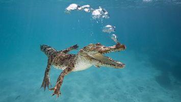 Фото бесплатно крокодил, река, пузыри, воздух, рептилия, пасть, клыки, глаза, подводный мир