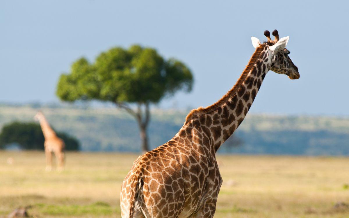 Фото бесплатно жираф, рога, шея - на рабочий стол