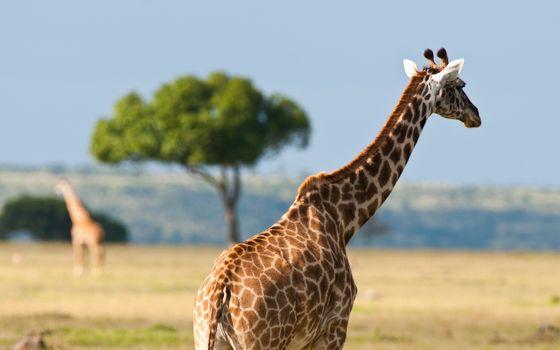 Photo free giraffe, horns, neck