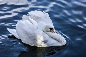 Фото бесплатно лебедь, вода, птицы