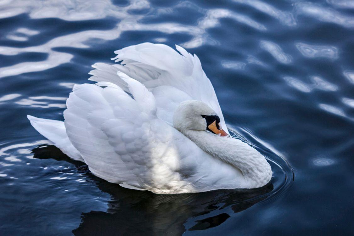 Фото бесплатно лебедь, вода, птицы - на рабочий стол