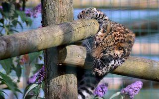 Бесплатные фото леопард,котенок,окрас,пятна,забор,бревна,кошки