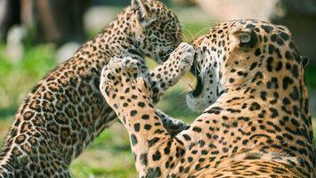 Бесплатные фото леопарды,котенок,морды,оскал,лапы,шерсть,окрас