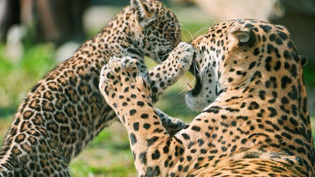 Заставки леопарды, котенок, морды