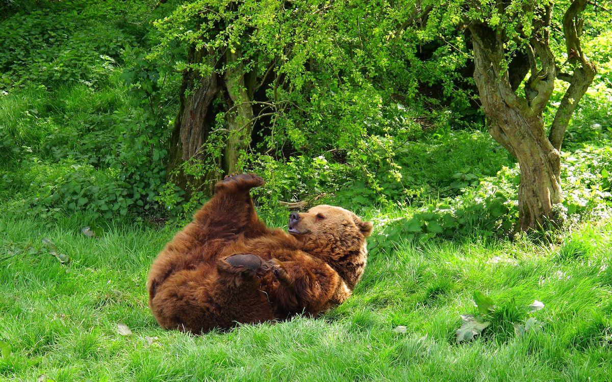 Фото бесплатно медведь, косолапый, отдыхает - на рабочий стол