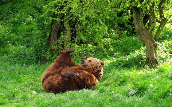 Фото бесплатно медведь, косолапый, отдыхает