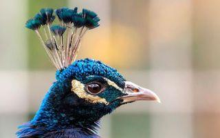 Фото бесплатно павлин, клюв, перья
