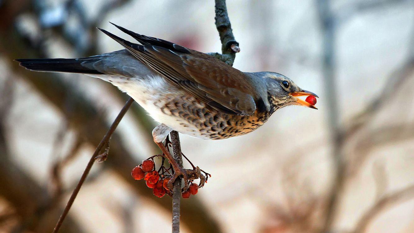 Фото бесплатно птица, рябина, ягоды, ветка, дерево, крылья, клюв, природа, птицы, птицы