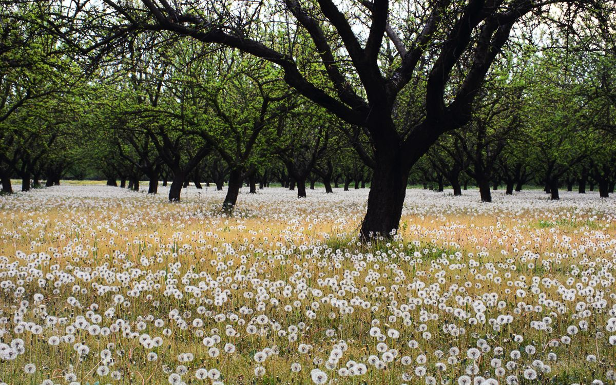 Photos for free flowers, dandelions, trees - to the desktop