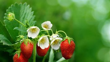 Обои земляника, цветки, бутоны, лепестки, ягоды, ветки, куст, лето, листья, лес, еда, цветы