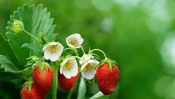 Заставки земляника,цветки,бутоны,лепестки,ягоды,ветки,куст