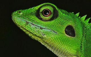 Фото бесплатно игуана, ящерица, зеленая