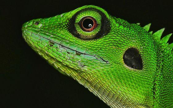 Заставки игуана, ящерица, зеленая