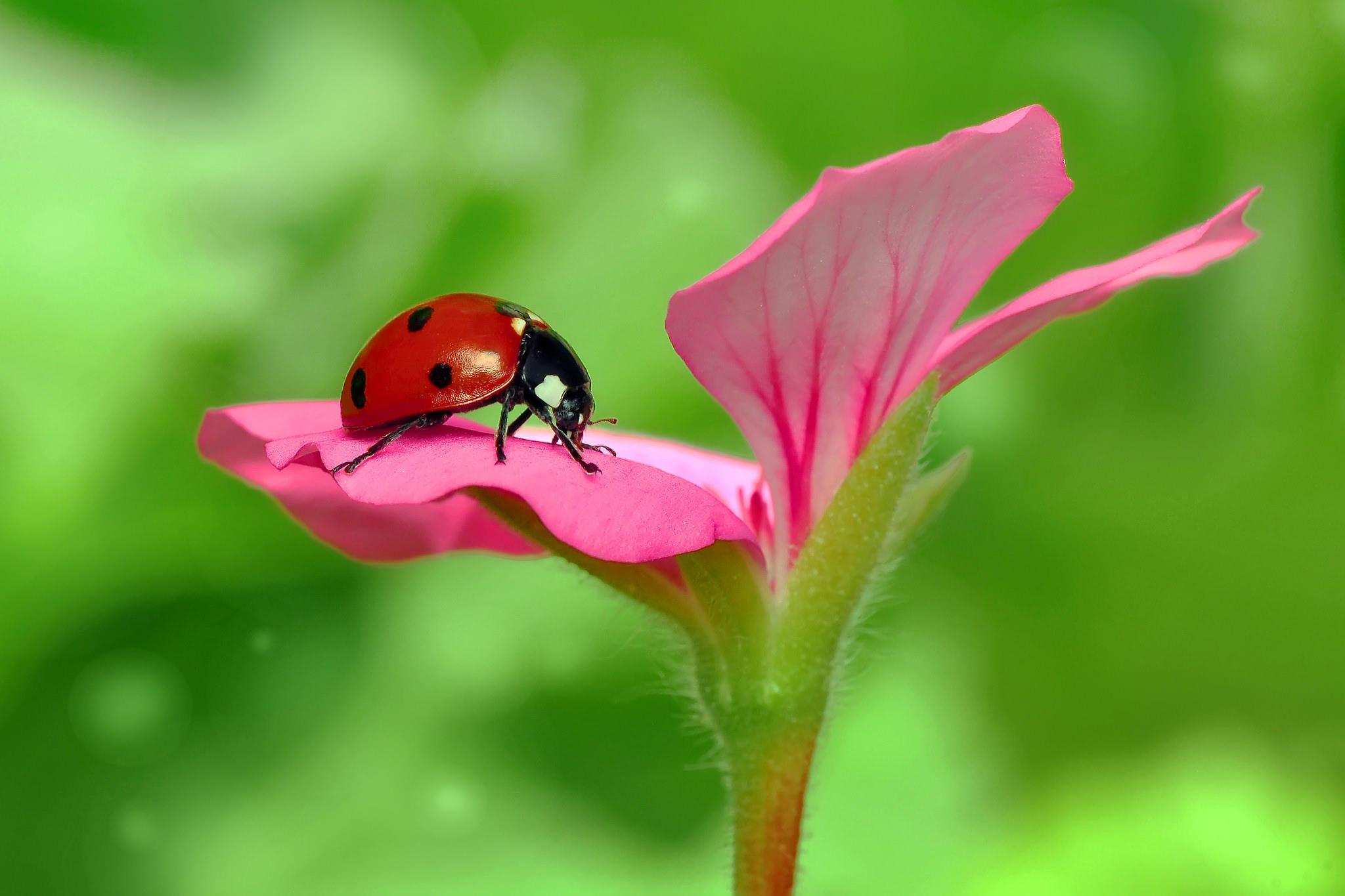 Обои цветок, божья коровка, макро, флора