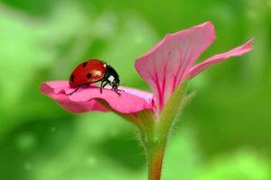Photo free flower, ladybug, macro