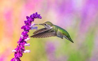Фото бесплатно полёт, колибри, семейство мелких птиц