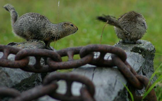 Бесплатные фото зверьки,цепь,доски,трава