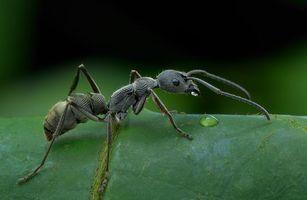 Фото бесплатно Муравей, насекомое, макро