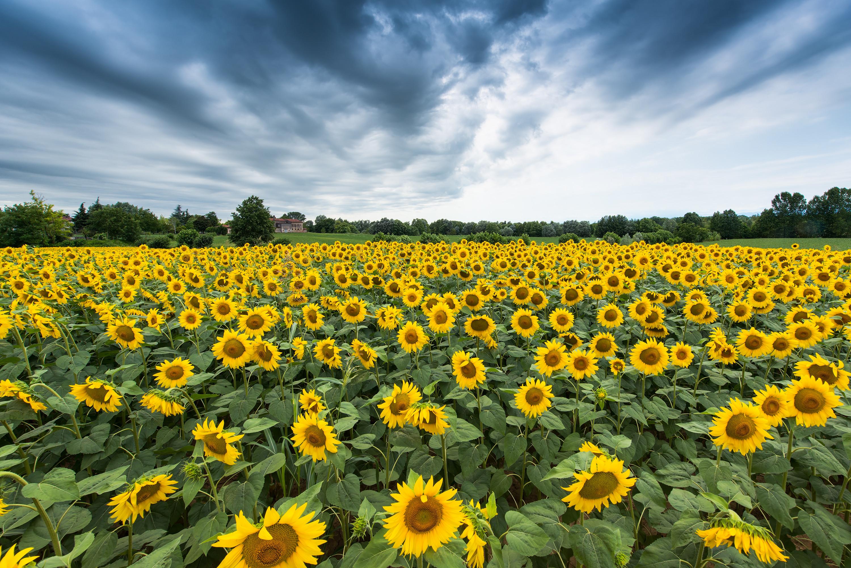 обои поле, подсолнухи, пейзаж картинки фото