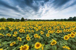 Фото бесплатно поле, подсолнухи, пейзаж