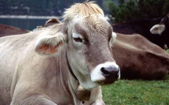 Photo free cows, muzzle, ears