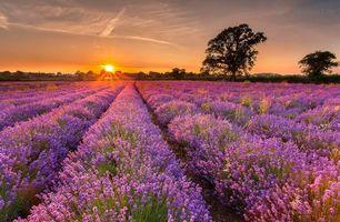 Бесплатные фото закат,поле,лаванда,цветы,деревья,пейзаж