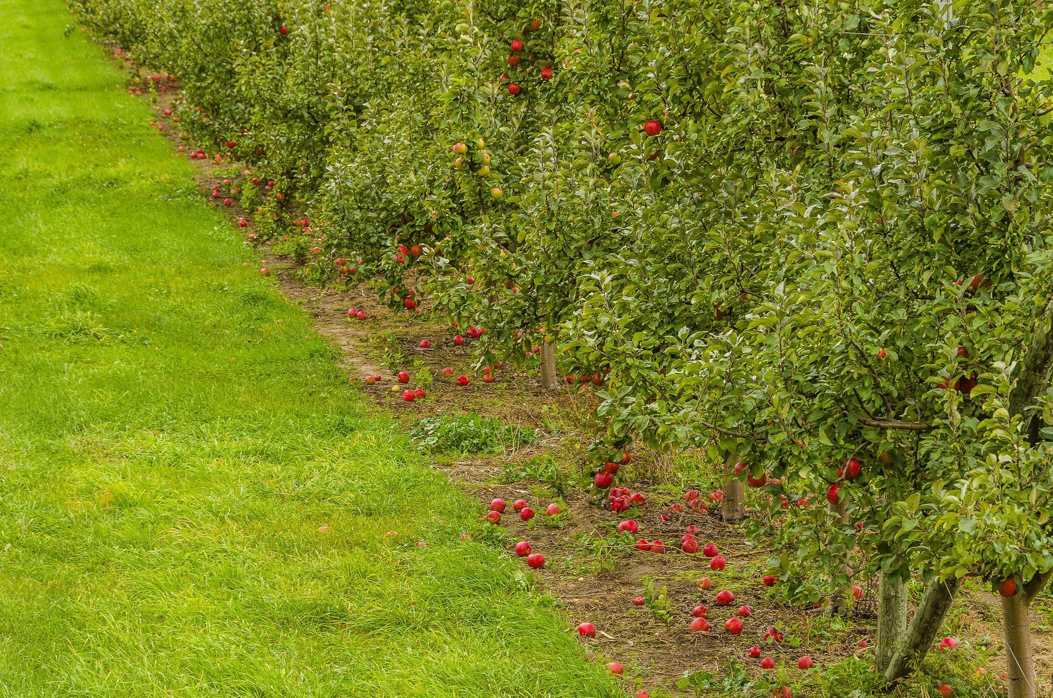 обои сад, яблони, яблоки, газон картинки фото