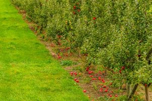 Бесплатные фото сад,яблони,яблоки,газон,трава,природа