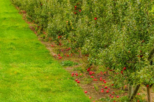 Фото бесплатно сад, яблони, яблоки