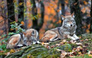 Бесплатные фото волки,пара,морды,лапы,шерсть,камень,листва