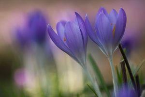 Фото бесплатно Крокусы, цветы, макро