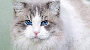 Бесплатные фото кот, морда, глаза голубые, уши, шерсть