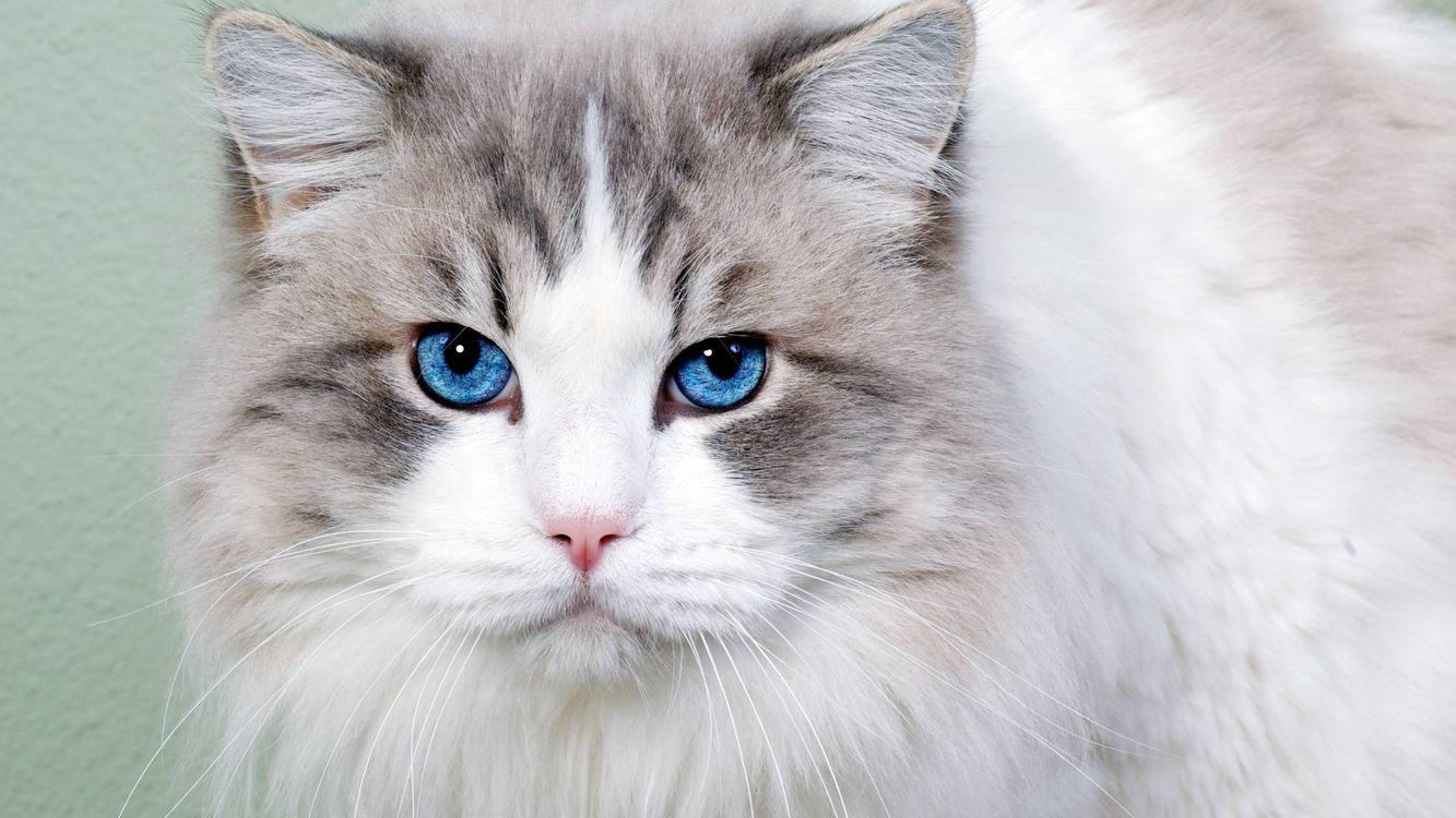 Фото бесплатно кошка, голубые глаза, шерсть - на рабочий стол