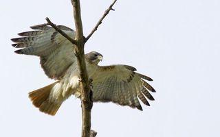 Фото бесплатно ветка, орел, крылья